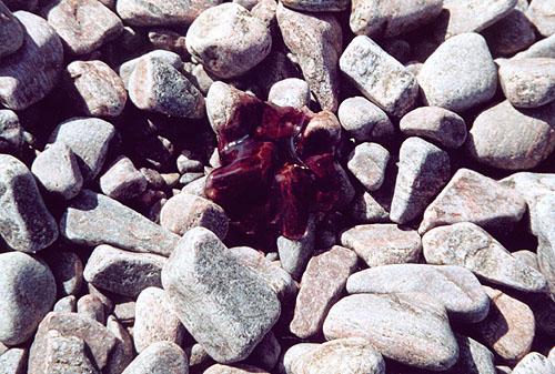 Медуза на камнях