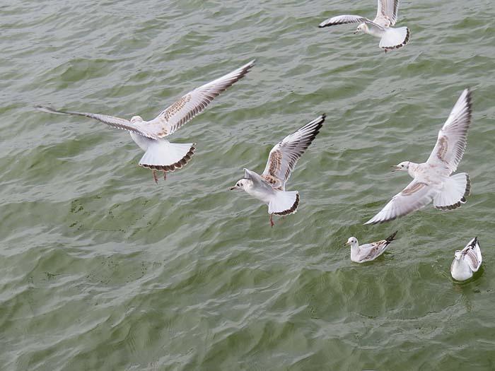 чайки на Куршском заливе