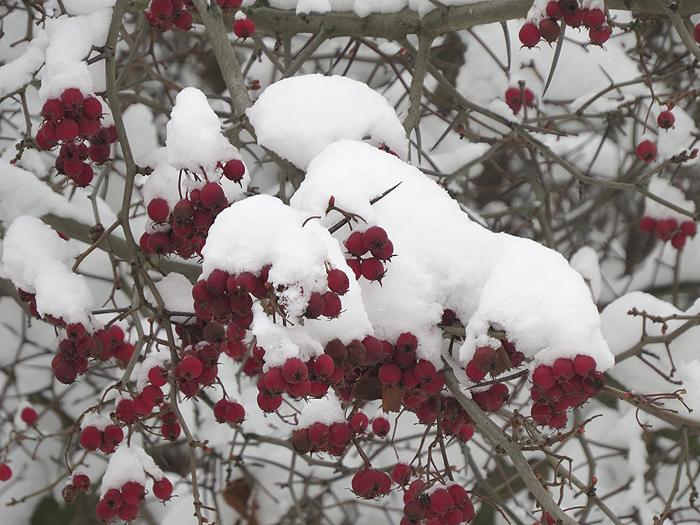 боярышник под снегом