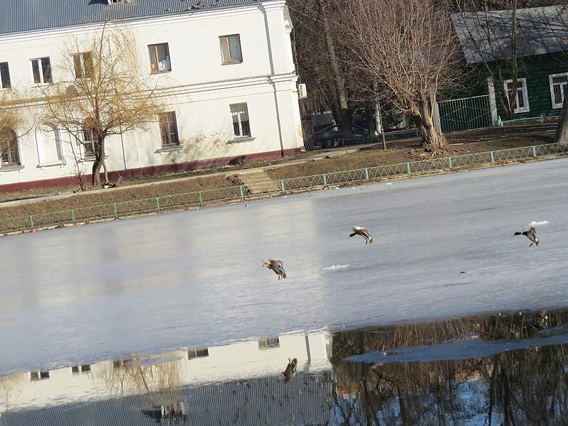 утки приземляются