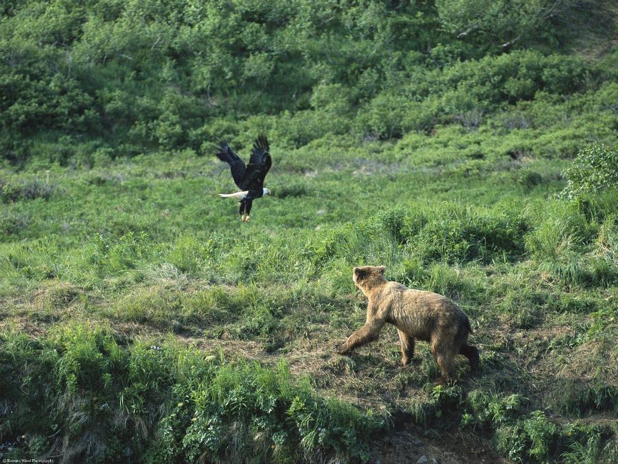 Медведь и орёл