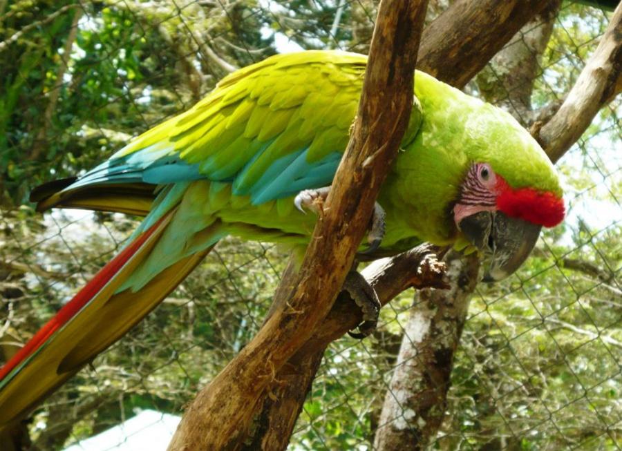 Доминиканский ара