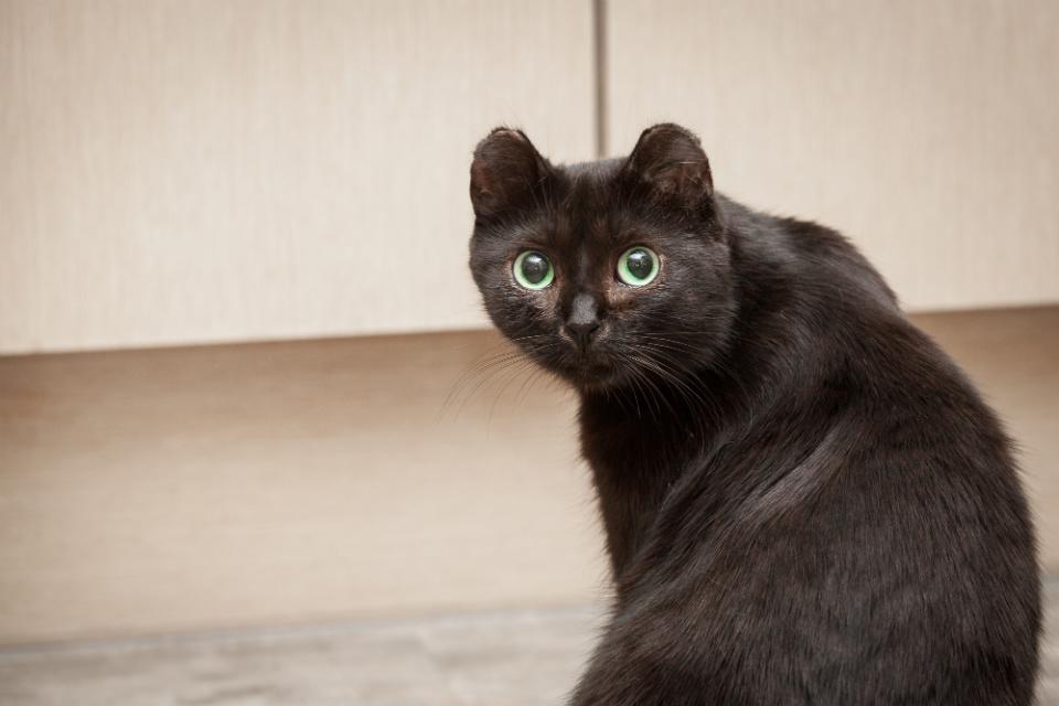 Отморожены уши у кота