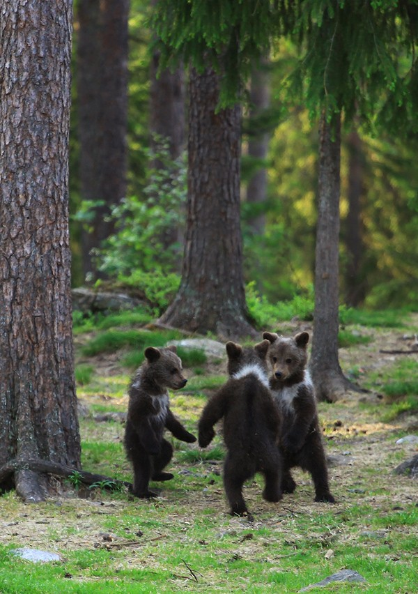медвежата-живность-пляшем-939692