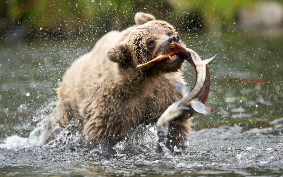 медведь-и-рыба