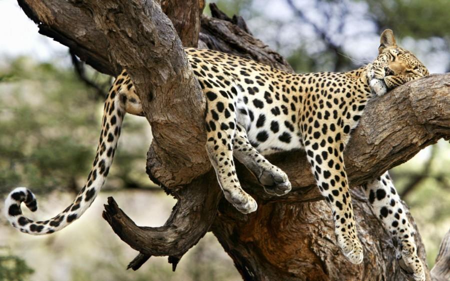 Леопард_спит_на_дереве