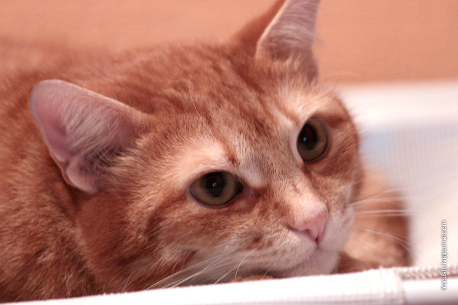 Рыжий кот Китик