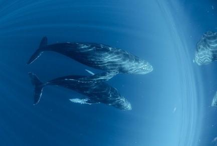 киты горбачи 1
