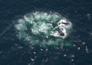 пузыри _киты горбачи