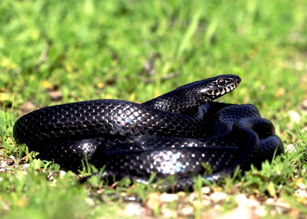 Whip-Snake