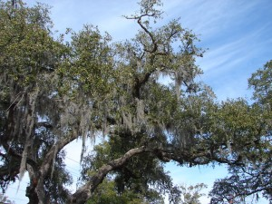 South Carolina Live Oak with Moss