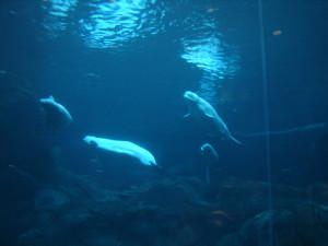 Aquarium Beluga Whales