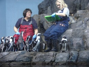 Aquarium African Penguins (4)