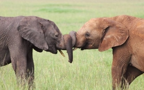 elephant-tug-of-war