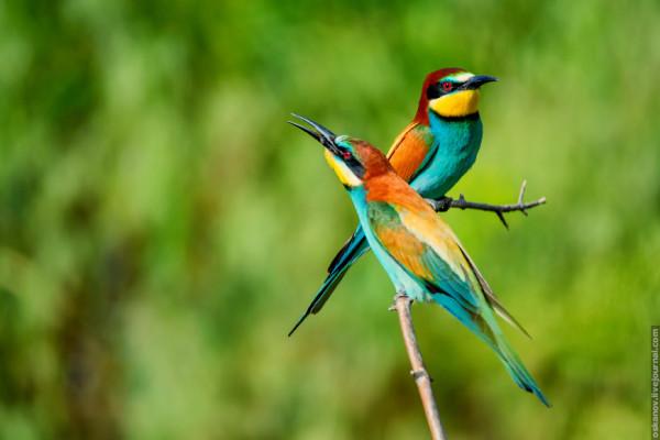 European_bee-eater_08