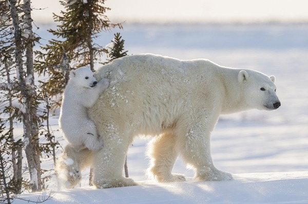 Photo-hunting-on-polar-bears-took-117-hours-in-50-degree-frost-01