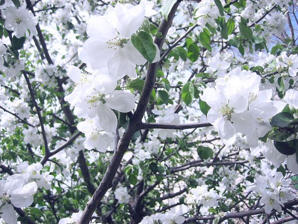 Яблоня в цвету 18 мая 2018