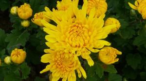 chrysanthemum-2840014_1280
