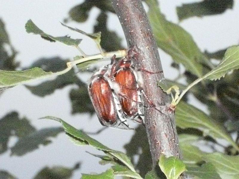 Два жука хор на СТВОЛЕ