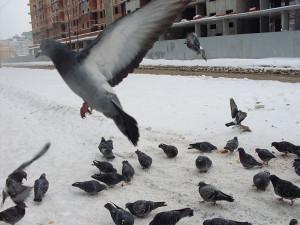 Голуби 4 зимой