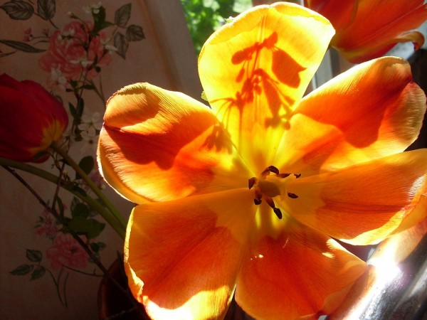 Тюльпан на просвет