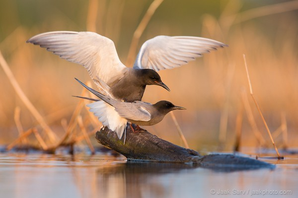 Black-Terns-Mating-9492-600x400