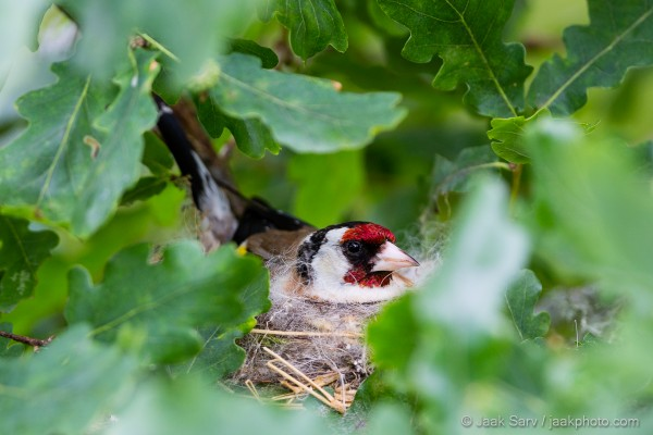 European-Goldfinch-Sitting-on-the-Nest-8639-600x400