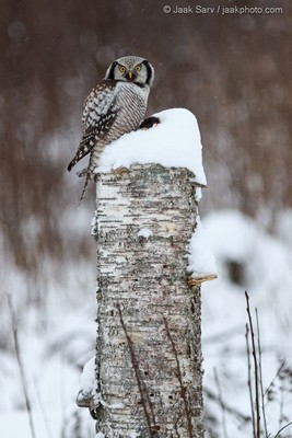 Northern-Hawk-owl-with-a-Prey-9494-3-267x400
