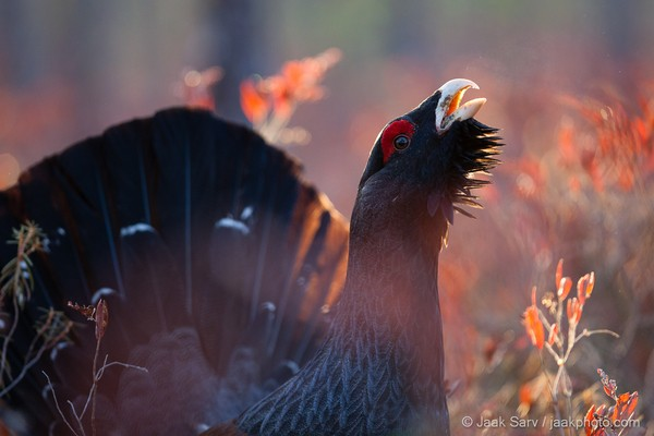 A-Western-Capercaillie-Singing-a-Love-Song-6299-600x400