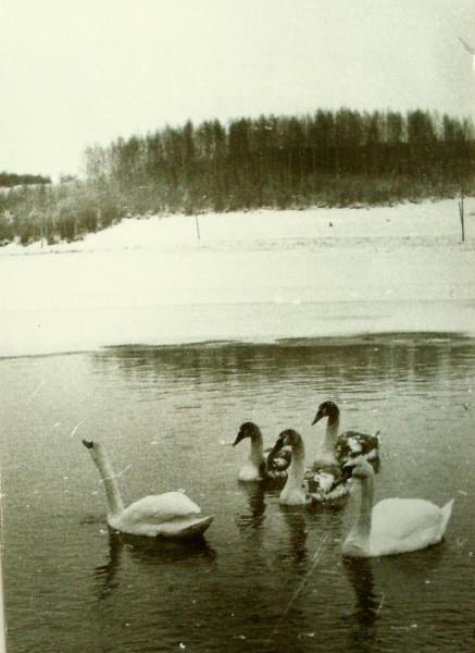 Семья лебедей в Ст.Изборске 17 12 1984