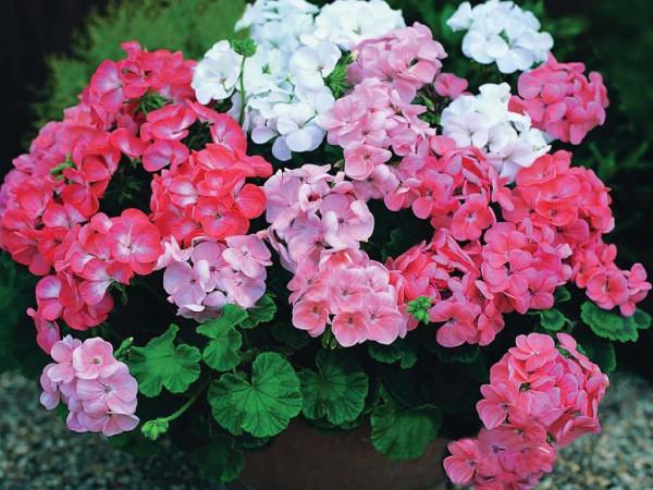 kartinki24_flowers_0040