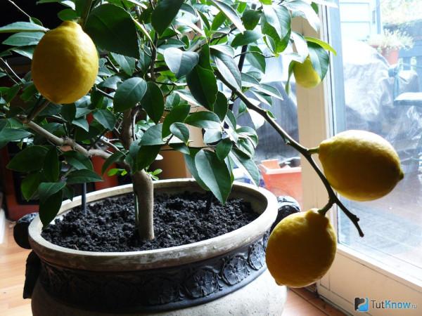 1364150536_kak-vyrastit-limon-iz-kostochki
