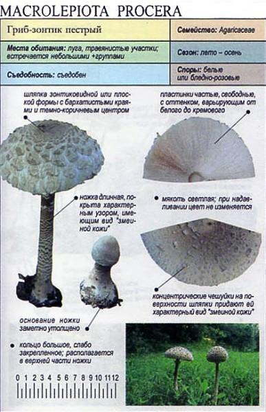 grib-zontik-pestryj_1