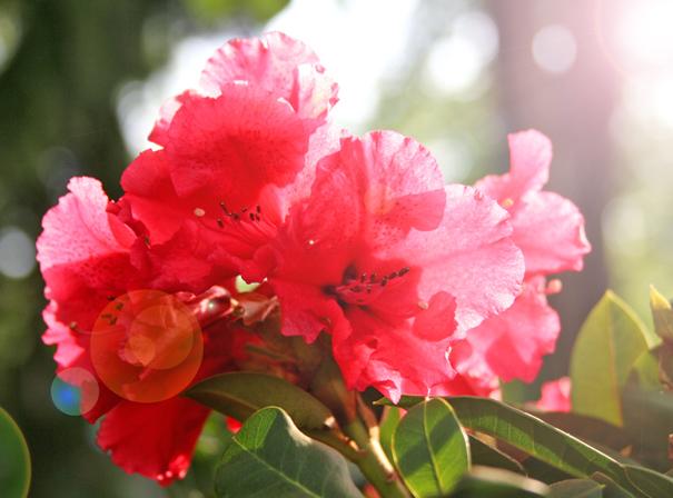 розовый рододендрон