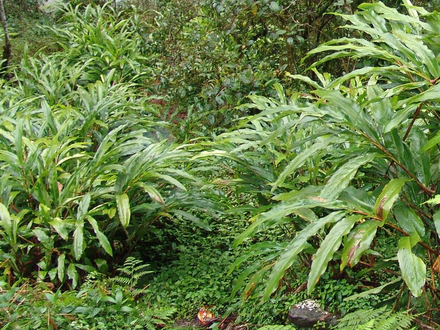 кардамон  растения