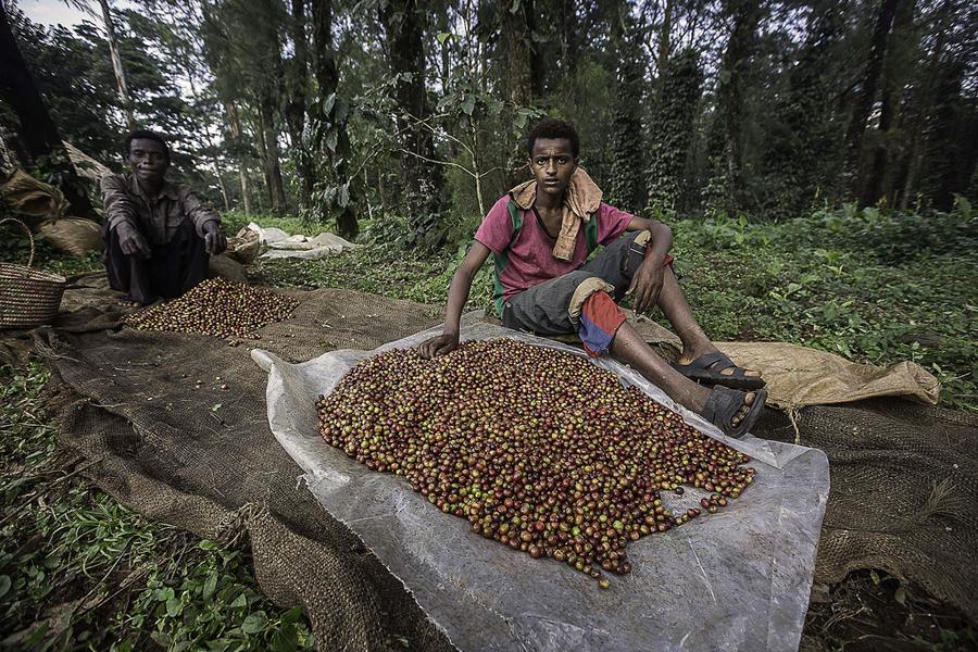 18 Выбор  кофе  в  Эфиопии