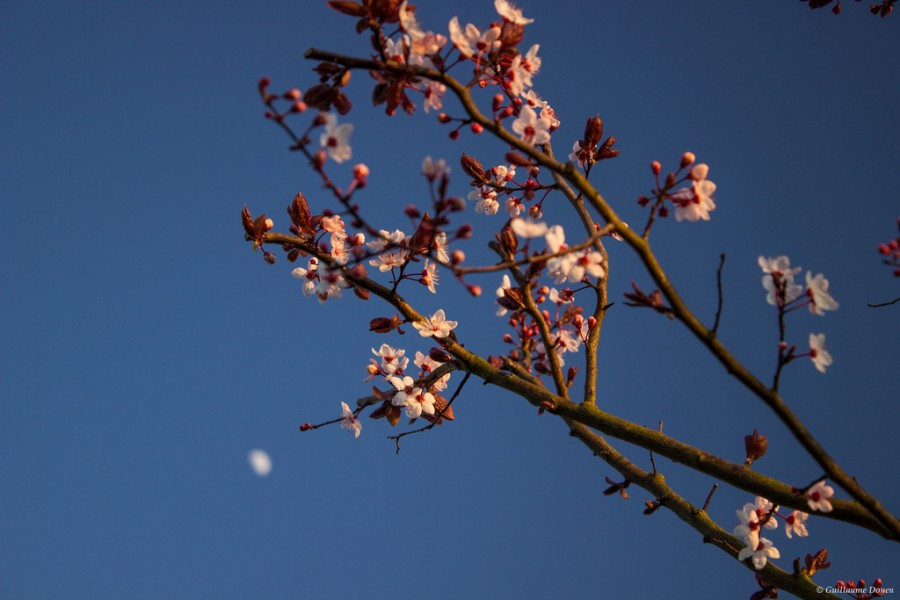 Prunus & Moon