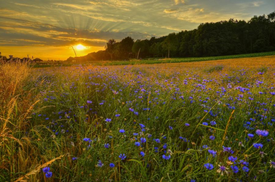 фото поле васильковое