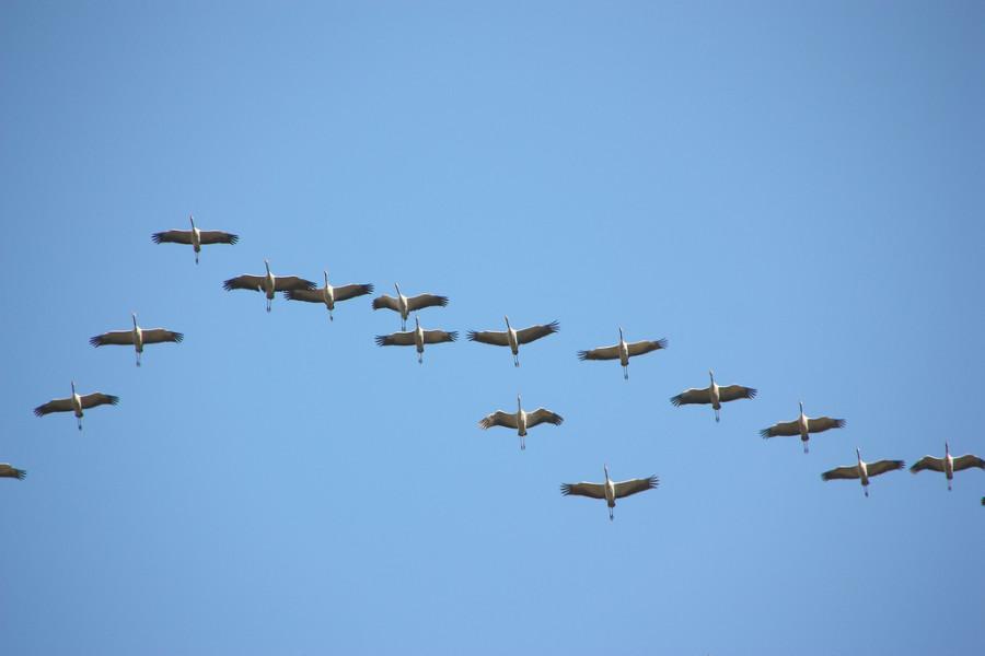 1Клин летящих  журавлей