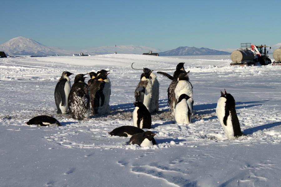 7 Пингвины  и Эребус.jpg