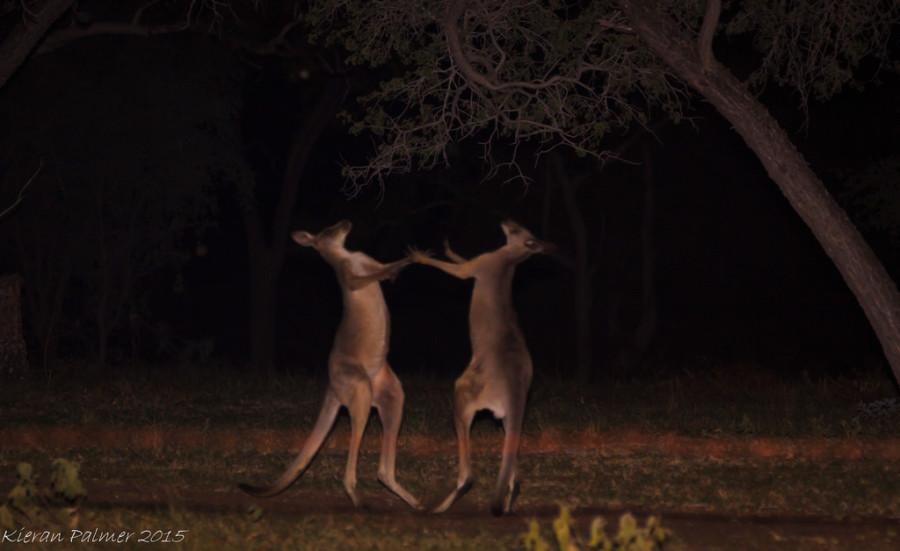 Eastern Grey Kangaroos.jpg