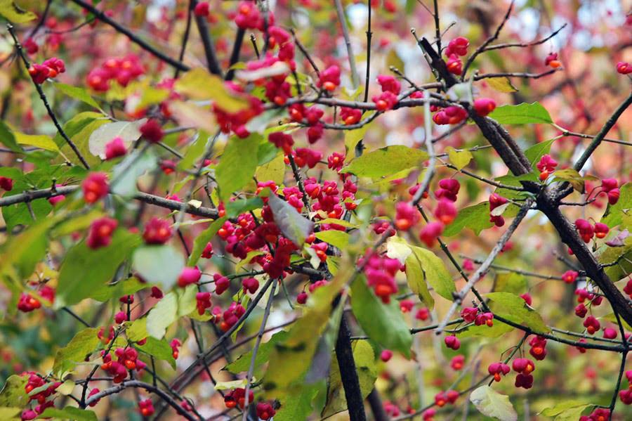 11 ягоды  бересклета.jpg