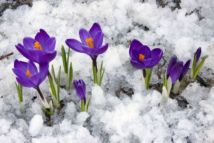 2  Spring Crocus.jpg