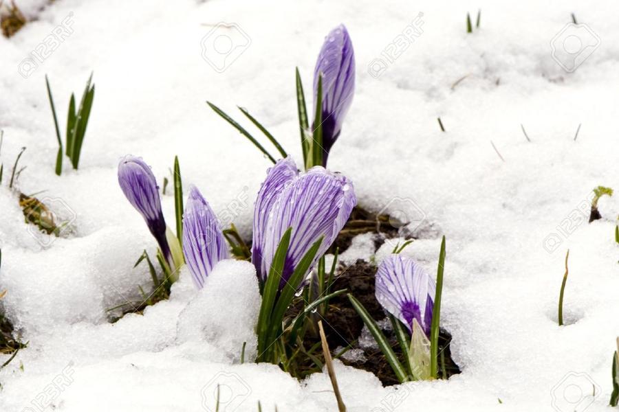 5 Crocus-saffron-.jpg