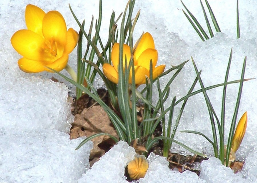 6  yellow_crocus_.jpg
