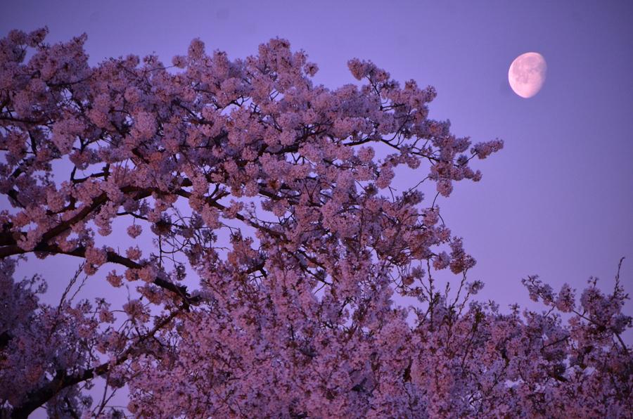 masa-nakamura  April 16 2017 Цветущая  вишня.jpg