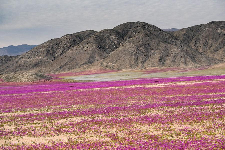 25 desierto-florido-atacama.jpg