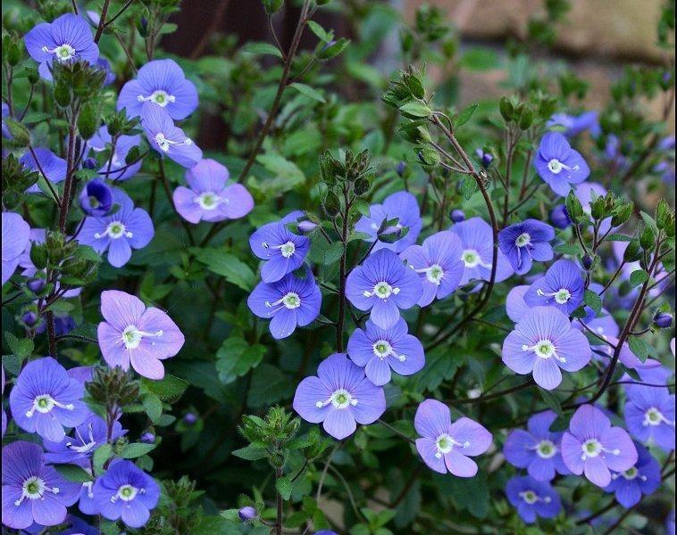 Вероника цветы