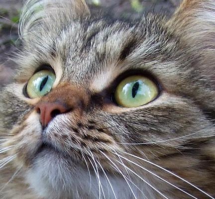 Пятно на радужке у кота