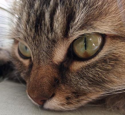 Коричневое пятно на глазу у кота